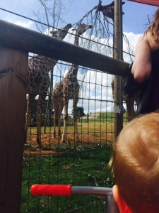 Imagine how big the giraffes must have been to Mini Me?!